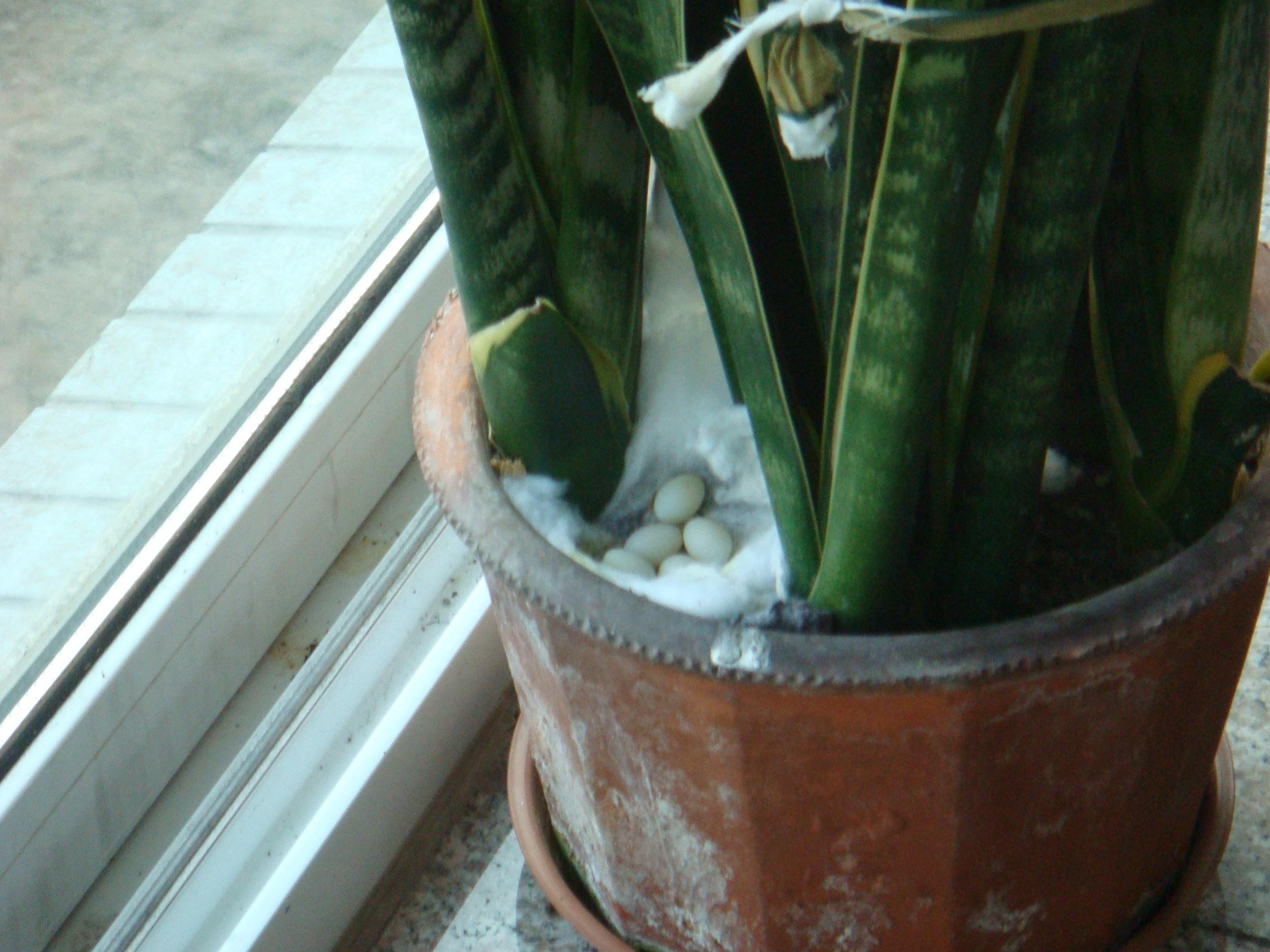 家里养的珍珠鸟又下蛋了..
